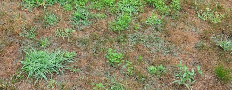 crabgrass pic from landscape company southern md